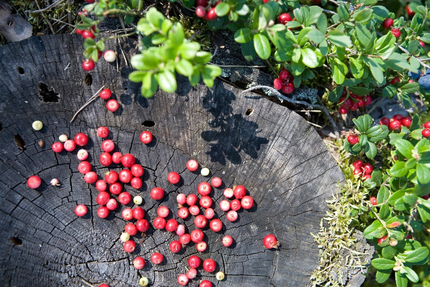 Cranberries Latvia